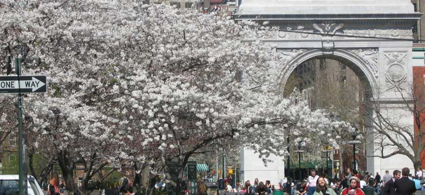 Washington Square Cherry Blossoms